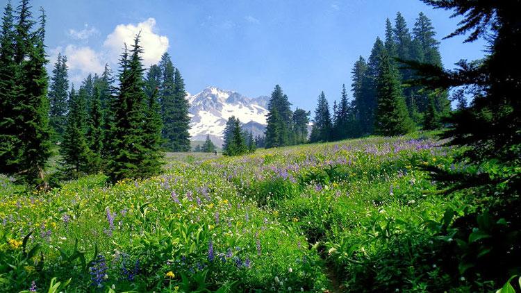 wildflower meadow, pine trees, snow-capped peak